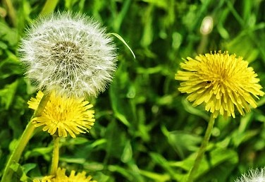 Homemade Pregnancy Test with Dandelion