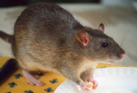 Natural Ways To Get Rid Of Big Rats