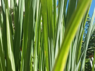 Lemongrass helps to get rid of lizard
