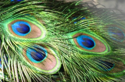 Use Peacock Feathers to Scare Lizards