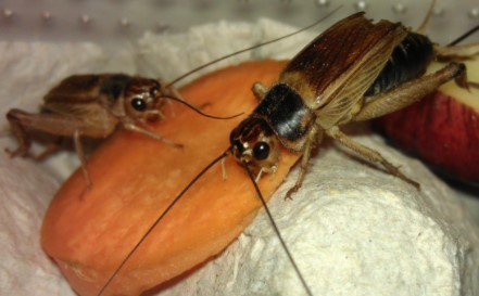 How to Get Rid of Crickets in House Naturally