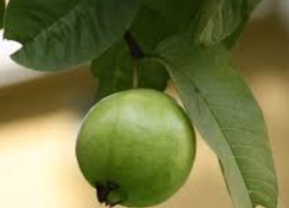 Guava Leaves To Cure Toothache
