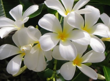 Jasmine Flower Bath to Cure Chickenpox For Adults