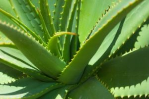 How to Use Aloe Vera for Hair Growth Fall control